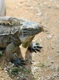 Komodo dragon sitting on the sand Royalty Free Stock Photos