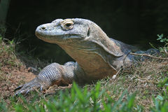 Komodo Dragon with soft focus grass in foreground Stock Photo