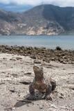 Komodo Dragon Standing på den avlägsna stranden Royaltyfri Bild