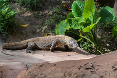 Komodo dragon. Standing on a rock with tongue out Royalty Free Stock Images