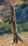 Komodo dragon is standing upright on their hind legs. Interesting perspective. The low point shooting. Indonesia. Royalty Free Stock Photo