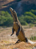 Komodo dragon is standing upright on their hind legs. Interesting perspective. The low point shooting. Indonesia. Komodo National Park. An excellent Royalty Free Stock Photography