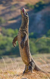 Komodo dragon is standing upright on their hind legs. Interesting perspective. The low point shooting. Indonesia. Stock Photography