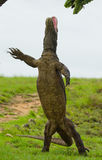 Komodo dragon is standing upright on their hind legs. Interesting perspective. The low point shooting. Indonesia. Stock Images
