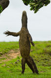 Komodo dragon is standing upright on their hind legs. Interesting perspective. The low point shooting. Indonesia. Royalty Free Stock Image