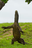 Komodo dragon is standing upright on their hind legs. Interesting perspective. The low point shooting. Indonesia. Komodo National Park. An excellent Stock Photography