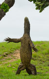 Komodo dragon is standing upright on their hind legs. Interesting perspective. The low point shooting. Indonesia. Komodo National Park. An excellent Royalty Free Stock Image