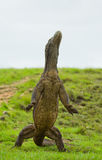 Komodo dragon is standing upright on their hind legs. Interesting perspective. The low point shooting. Indonesia. Komodo National Park. An excellent Royalty Free Stock Photo