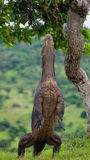 Komodo dragon is standing upright on their hind legs. Interesting perspective. The low point shooting. Indonesia. Royalty Free Stock Photography