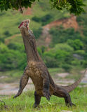 Komodo dragon is standing upright on their hind legs. Interesting perspective. The low point shooting. Indonesia. Komodo National Park. An excellent Stock Photos