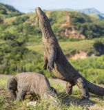 Komodo dragon stands on its hind legs. The Komodo dragon ( Varanus komodoensis ) Stock Photo