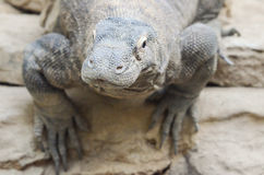 Komodo dragon stare Royalty Free Stock Photo