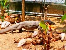 Komodo dragon Stock Photos