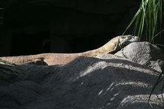 Komodo Dragon sunbathing Stock Photo