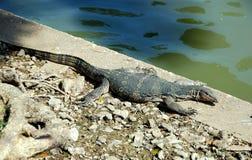 Komodo Dragon Sunning in Park Stock Image