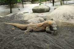Komodo dragon, varan Royalty Free Stock Photo