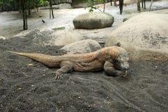 Komodo dragon, varan. Komodo big dragon, varan lizard royalty free stock photo
