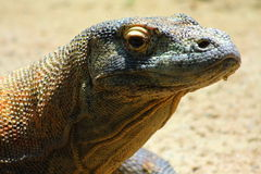 Komodo Dragon (Varanus komodoensis) Royalty Free Stock Images