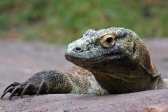 Komodo Dragon (Varanus komodoensis). A Komodo dragon lies in wait royalty free stock photos