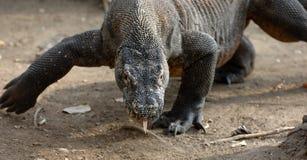 Komodo dragon. (Varanus komodoensis), also known as the Komodo monitor Royalty Free Stock Photo