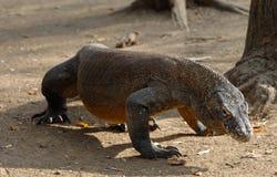 Komodo dragon. (Varanus komodoensis), also known as the Komodo monitor Royalty Free Stock Photos