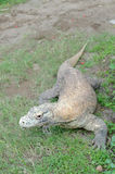 Komodo dragon or varanus komodoensis Stock Image