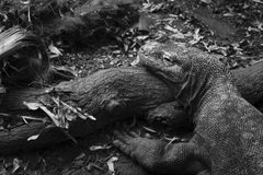 The Komodo Dragon Stock Images