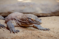 The Komodo dragon Varanus komodoensis Royalty Free Stock Photography