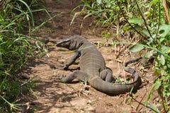 Komodo dragon (Varanus komodoensis), Royalty Free Stock Image