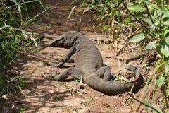 Komodo dragon (Varanus komodoensis] Stock Image