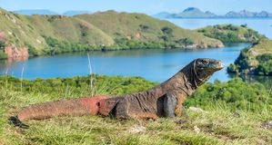 Komodo dragon. Varanus komodoensis. Indonesia. Komodo dragon. Varanus komodoensis Biggest in the world living lizard in natural habitat. Rinca Island. Indonesia stock images