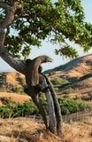 Komodo dragon, Varanus komodoensis Royalty Free Stock Photos