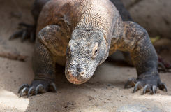 The Komodo dragon Varanus komodoensis close up portrait. Species of lizard found in the Indonesian islands Stock Photos