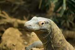 Komodo dragon Royalty Free Stock Photography
