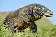 Komodo dragon  Varanus komodoensis  with the  forked tongue sn Stock Images