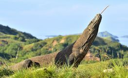 Komodo dragon  Varanus komodoensis  with the  forked tongue sn Stock Photos