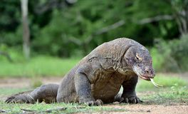 Komodo dragon  Varanus komodoensis  with the  forked tongue sn Stock Photo