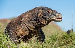 Komodo dragon  Varanus komodoensis  with the  forked tongue sn. Iff air. Biggest in the world living lizard in natural habitat. Island Rinca. Indonesia Royalty Free Stock Image