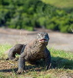 Komodo dragon Varanus komodoensis with the forked tongue Royalty Free Stock Photo