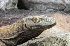 Komodo dragon (Varanus komodoensis) Royalty Free Stock Images