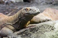 Komodo dragon (Varanus komodoensis) Stock Images