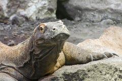 Komodo dragon (Varanus komodoensis) Royalty Free Stock Photos