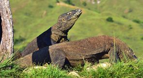 The Komodo dragon Varanus komodoensis. Indonesia. Stock Photo