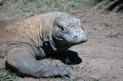Komodo dragon Stock Photography