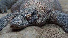 Komodo dragon, Varanus komodoensis. stock video footage