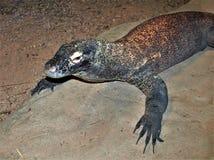 Komodo Dragon Varanus Komodoensis Lizard Royalty Free Stock Photo