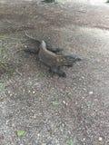 Komodo Dragon, Varanus Komodoensis on Komodo Island at Komodo National Park, Indonesia. Komodo Dragon, Varanus Komodoensis member of monitor lizard family Royalty Free Stock Images