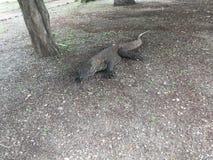 Komodo Dragon, Varanus Komodoensis on Komodo Island at Komodo National Park, Indonesia. Komodo Dragon, Varanus Komodoensis member of monitor lizard family Stock Photo