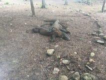 Komodo Dragon, Varanus Komodoensis on Komodo Island at Komodo National Park, Indonesia. Komodo Dragon, Varanus Komodoensis member of monitor lizard family Royalty Free Stock Photos