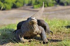 Komodo dragon  Varanus komodoensis  in natural habitat. Bigges Stock Image